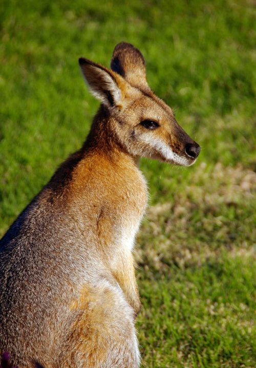 wallaby rednecked wallaby australia