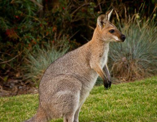 wallaby marsupial animal