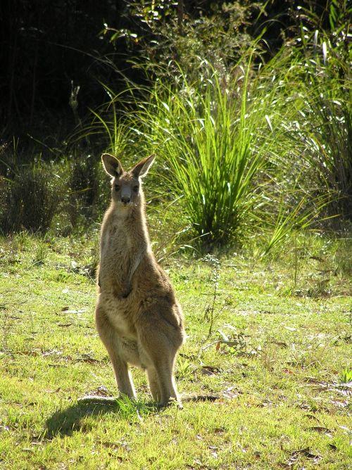 wallaby kangaroo east coast wallaby