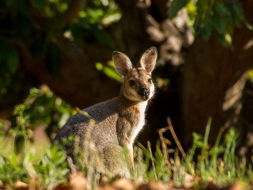 wallaby marsupial young