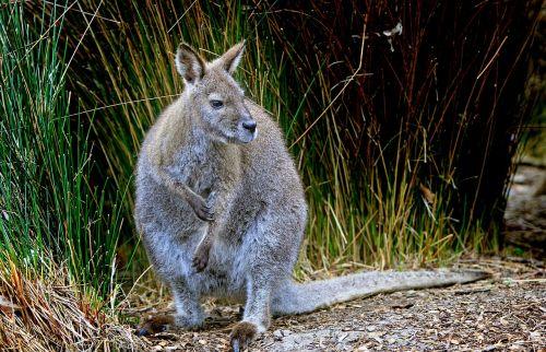 wallaby grey wildlife