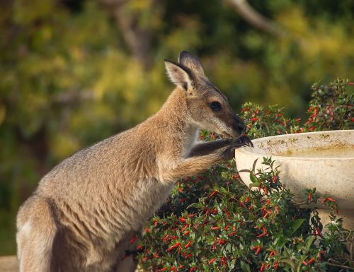 wallaby rednecked wallaby thirsty