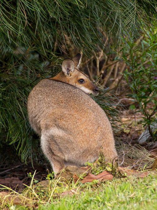 wallaby rednecked wallaby female