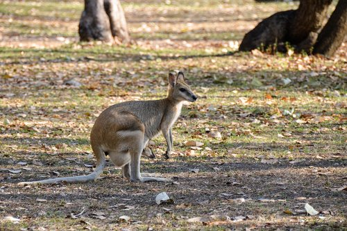 wallaroo  euro  marsupial