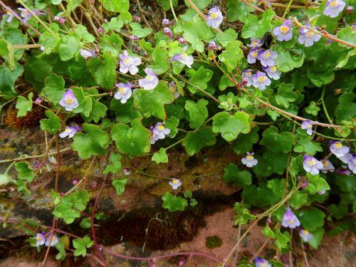 wallflower,dulcimer žolė,sienos augalas,žiedas,žydėti,sienų gėlė,dekoratyvinis augalas,vaistinis augalas,zymbelkraut,pusiau lengvas augalas,siena,akmuo,akmeninė siena,augalas