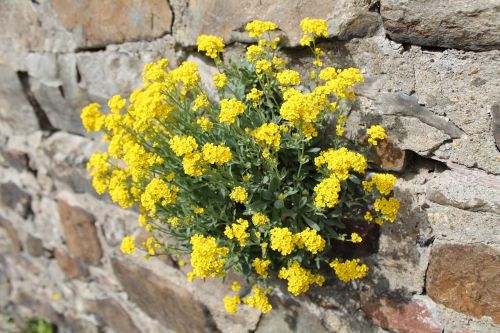 wallflower wall flower