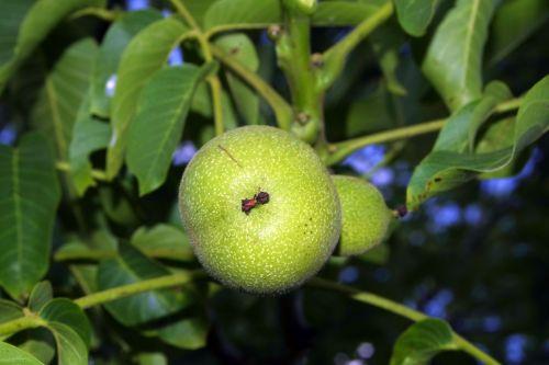 walnut nuts immature