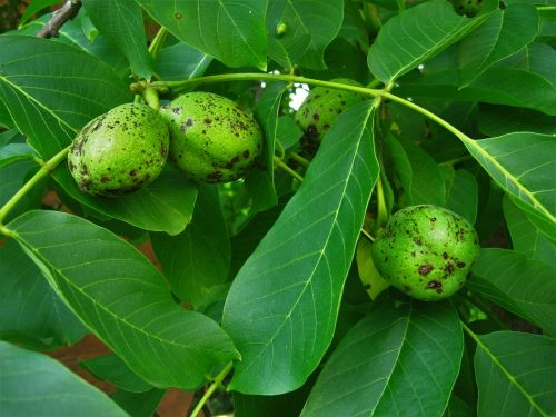 walnuts walnut tree immature