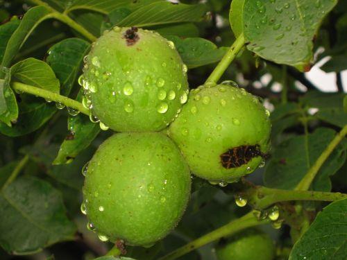 walnuts green unripe