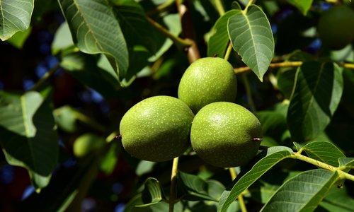 walnuts  walnut tree  tree