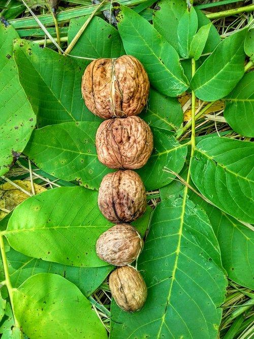 walnuts  leaf  autumn