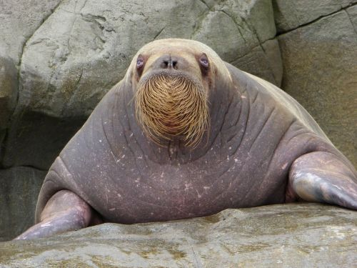 walrus bart zoo