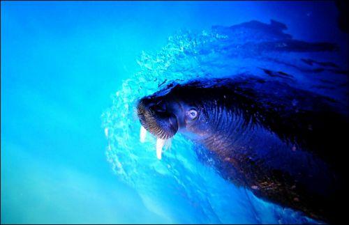 walrus sea lion sea