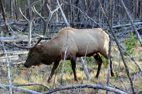 wapiti deer yellowstone national park