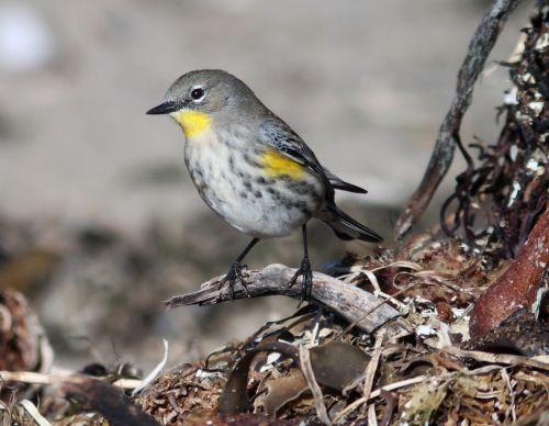 warbler bird golden-cheeked