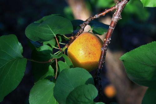 vaisiai, spalva, oranžinė, abrikosas, šilta šviesa abrikosai