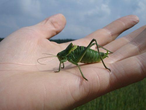 wart biter decticus verrucivorus grasshopper