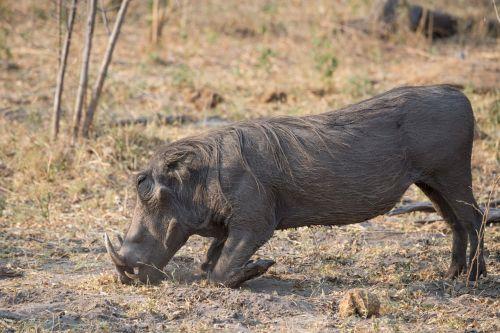 warthog botswana animal