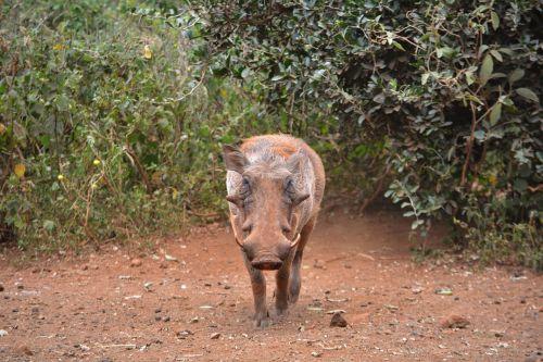 warthog pig wildlife