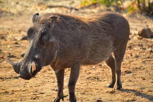 warthog africa animal