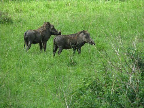 warthog hog pig