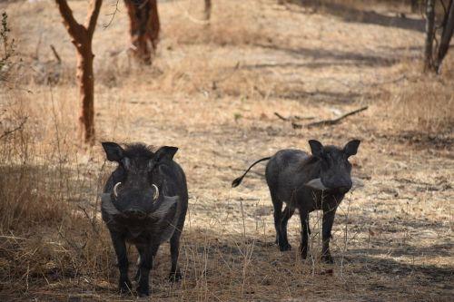 warthog safari africa