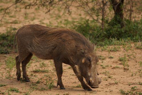 warthog game reserve