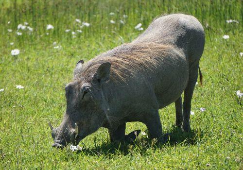 warthog pumba africa