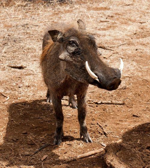 warthog south africa savannah