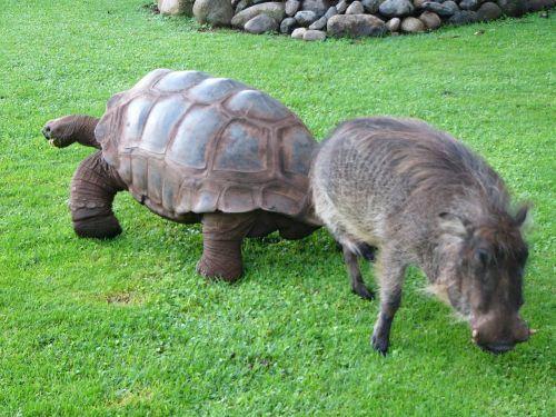 warthog turtle africa