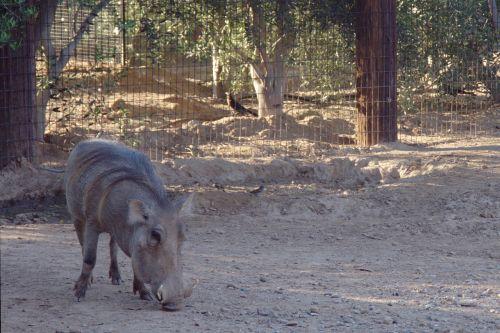 warthog pumba zoo