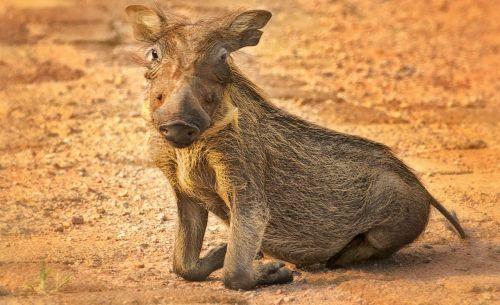 warthog kneel eyes