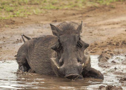 warthog mud bathing