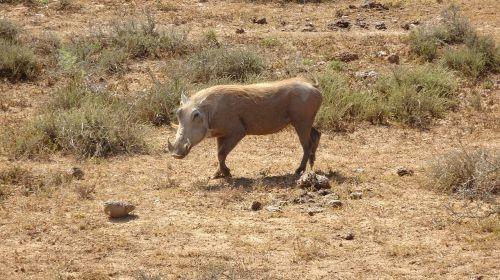 warthog mammal fauna
