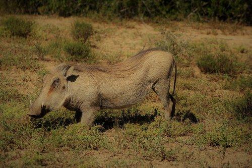 warthog  safari  south africa
