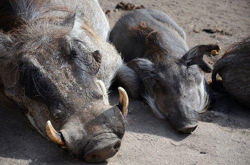warthog  pumbaa  zoo