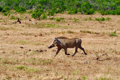 warthog  south africa  safari