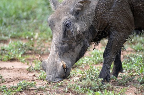 warthog  umfolozi game reserve  south african wildlife