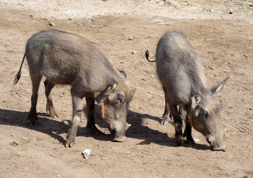 warthog  suidé  suidae