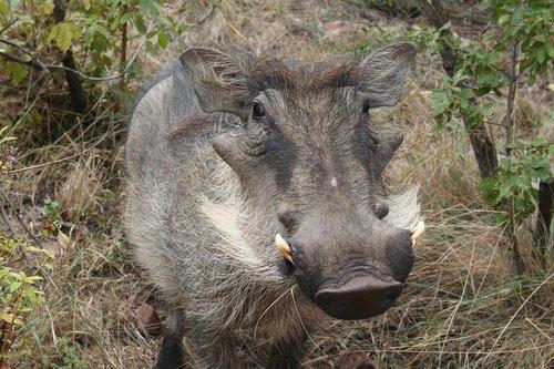 warthog  animal  africa