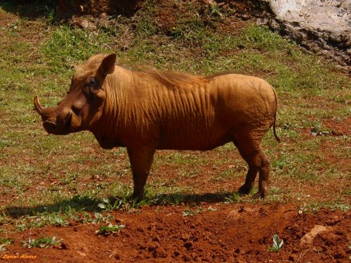 warthog animals africa