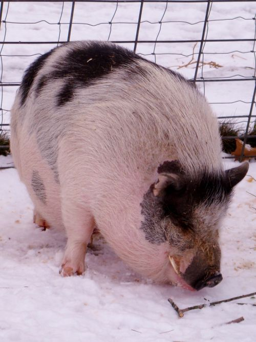 warthog pig hog