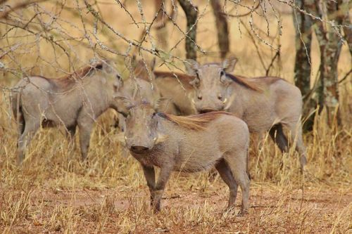 warthogs tanzania africa