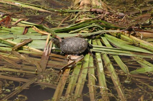 warty turtles sword-extract stream three species of freshwater turtles