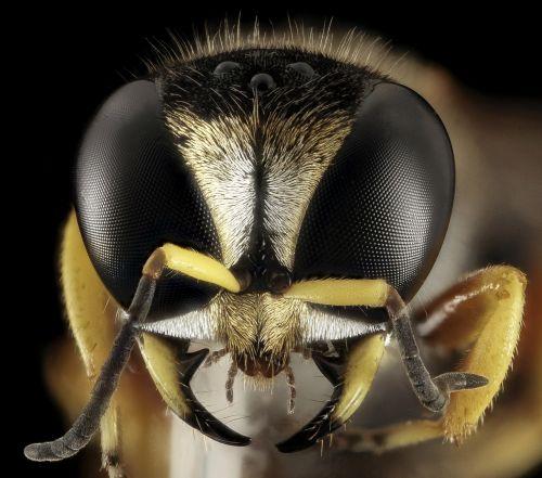 wasp head face