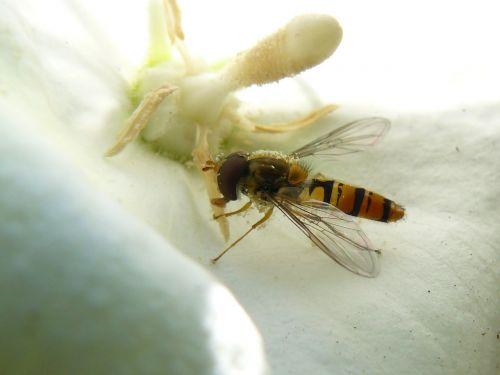 isp,žiedas,žydėti,Uždaryti,vabzdys,bičių,rinkti nektarą,makro,gamta,rinkti žiedadulkes,geltona,gėlės,žiedadulkės,augalas,žiedlapiai,Iš arti,flora,datailaufnahme
