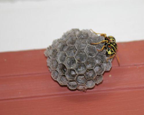 wasp yellow jacket hive