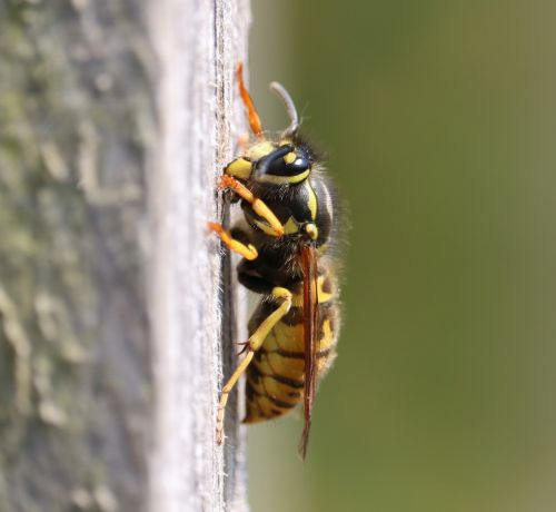 wasp,nest building,yellow,black,macro