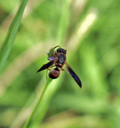 wasp mason wasp red and black mason wasp