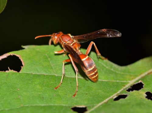 wasp paper wasp umbrella wasp